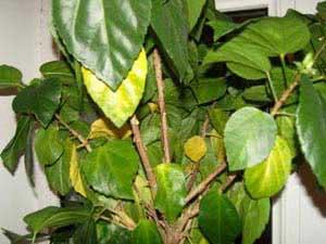 Гібіскус – жовтіє листя