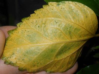 Листья гибискуса желтеют