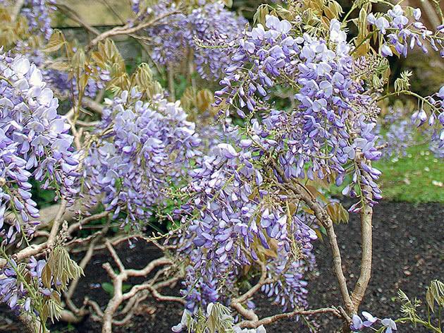 Квітуча гліцинія