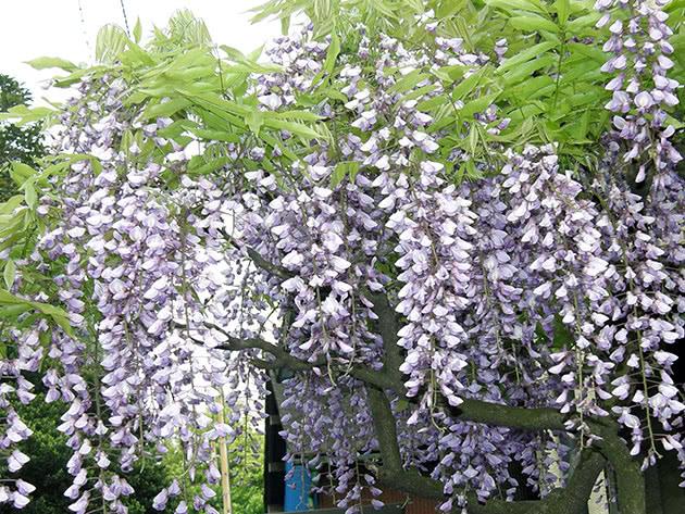 Глициния обильноцветущая, или многоцветковая / Wisteria floribunda