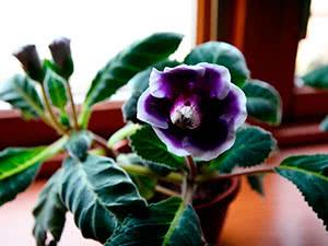 Цветок глоксиния или синнингия