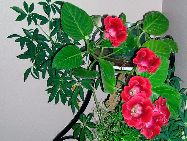 Квітуча глоксинія