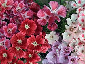 Цветок годеция