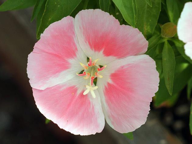 Квітка годеція