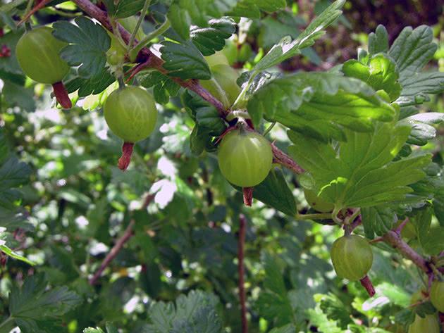 Гілка аґрусу з ягодами