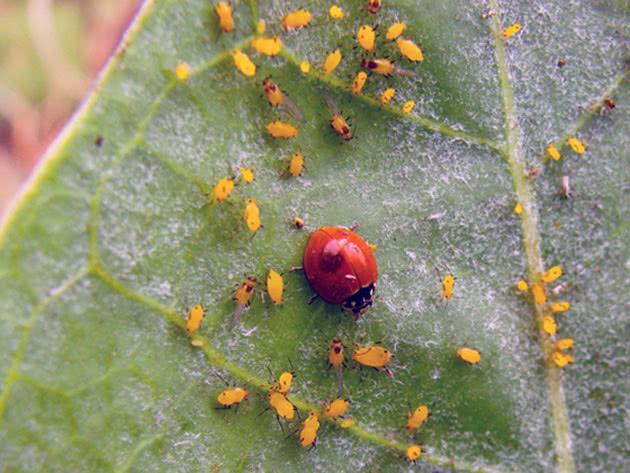 Попелиця – шкідник аґрусу