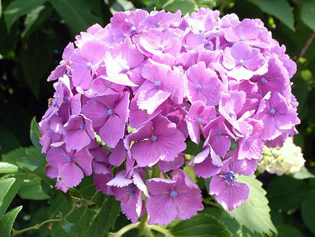 Inflorescence of purple hydrangeas
