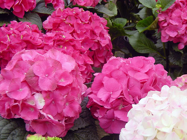 Flowers hydrangea