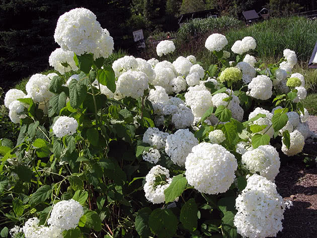 Smooth hydrangea / Hydrangea arborescens