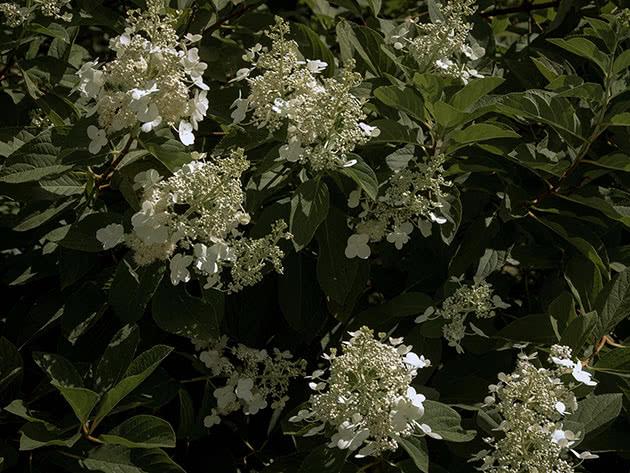 Panicled hydrangea / Hydrangea paniculata