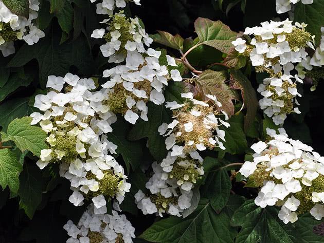 Oak leaf hydrangea / Hydrangea quercifolia
