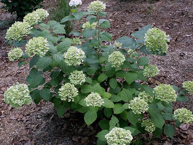 Растение гортензия древовидная