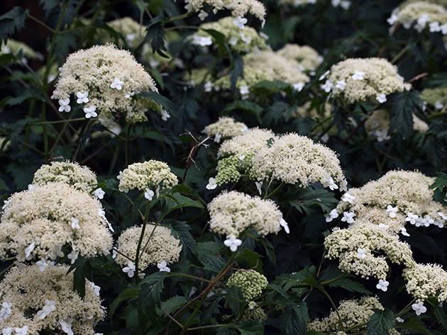Цветы гортензии древовидной