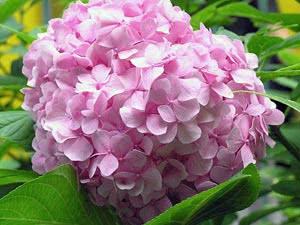 Рожева квітка гортензії деревоподібної