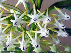 Хойя – Декоративно-листяна рослина