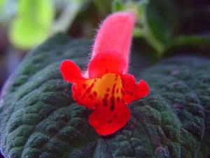 Колерия – растение декоративно-цветущее