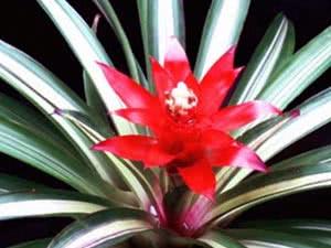 Кімнатна квітка гусманія