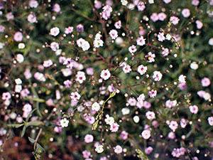 Цветы гипсофила
