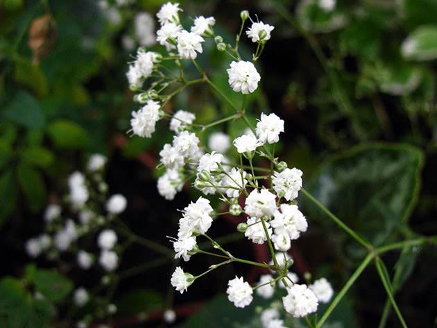 Квіти гіпсофіла