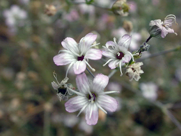 Квітка гіпсофіли