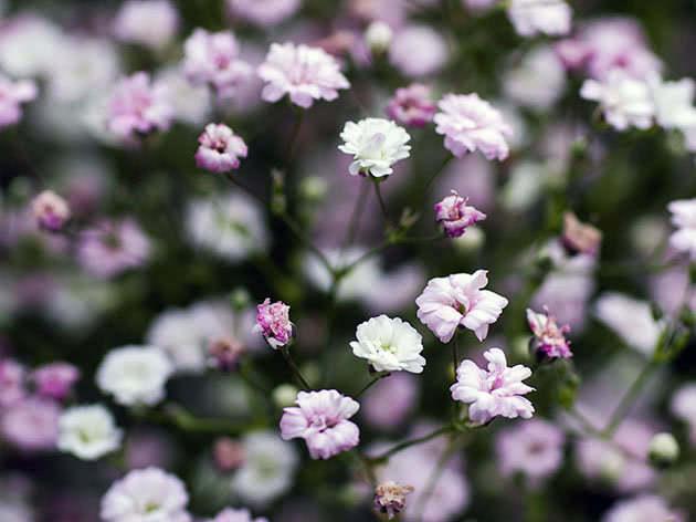 Цвітіння гіпсофіли