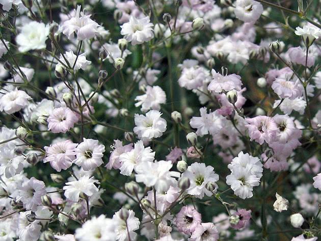 Гіпсофіла волотиста / Gypsophila paniculata