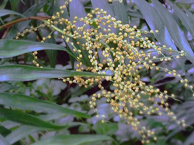 Цветущая хамедорея