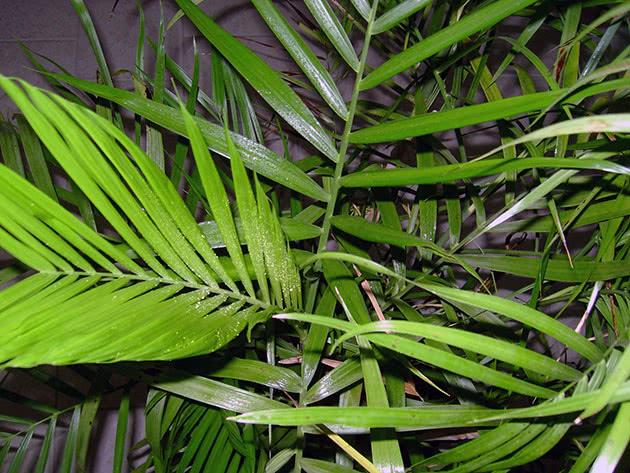 Лист хамедореи