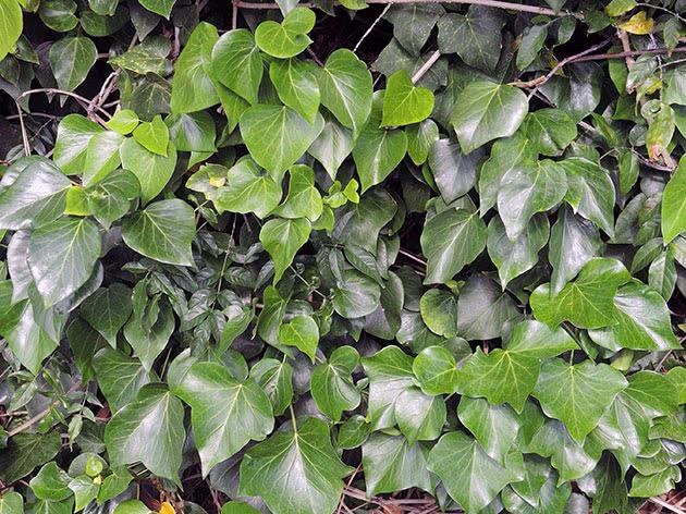 Плющ канарский / Hedera canariensis