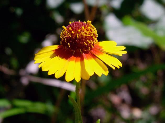 Квітучий геленіум
