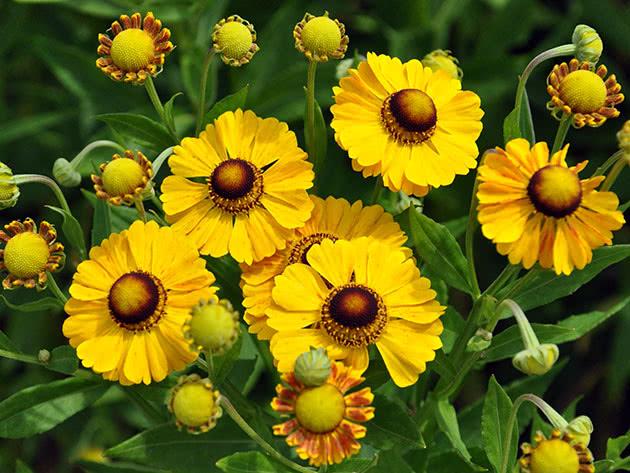 Квіти геленіум
