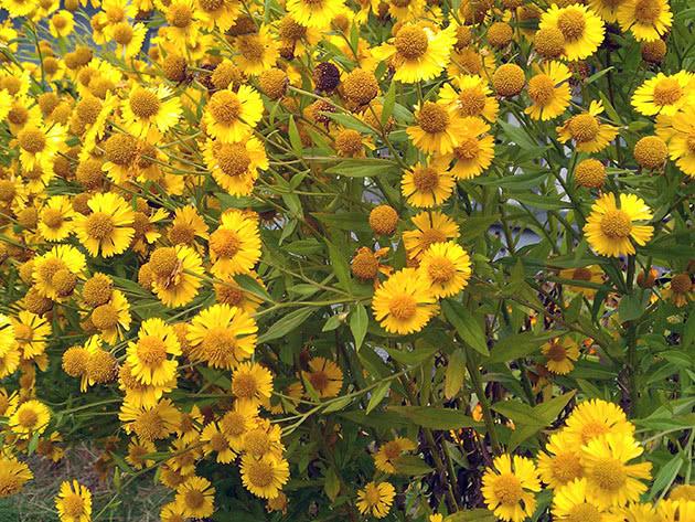 Геленіум осінній / Helenium autumnale