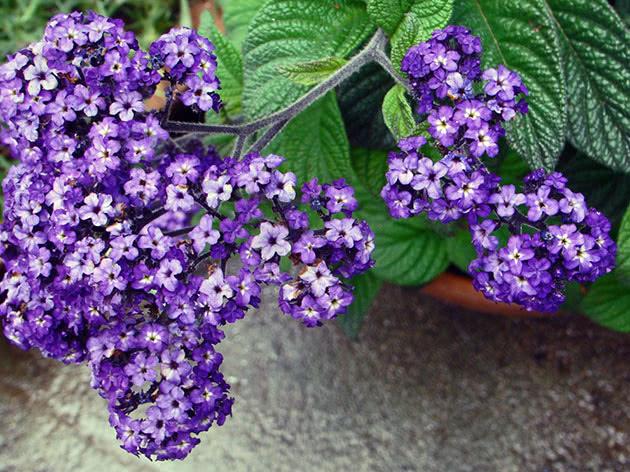 Квіти геліотроп