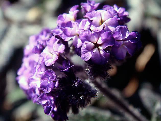 Цветок гелиотроп