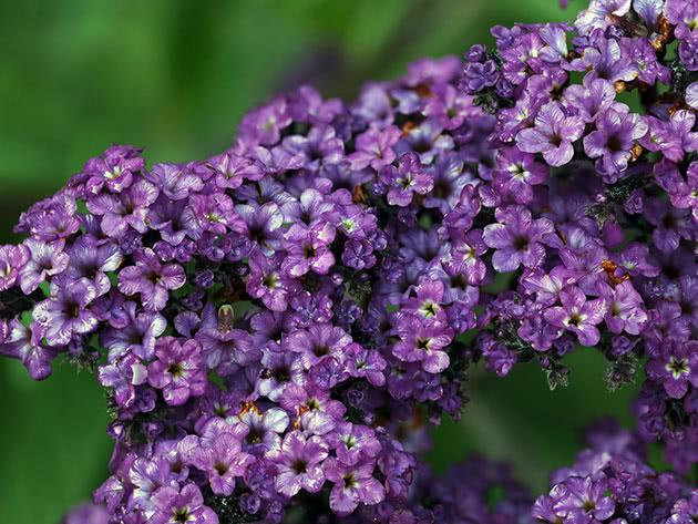 Квітка геліотроп