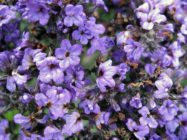 Цвітіння геоліотропа