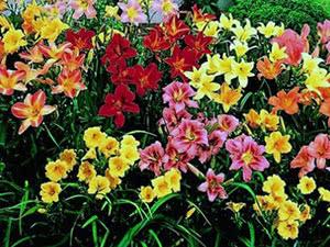 Квітка лілійник