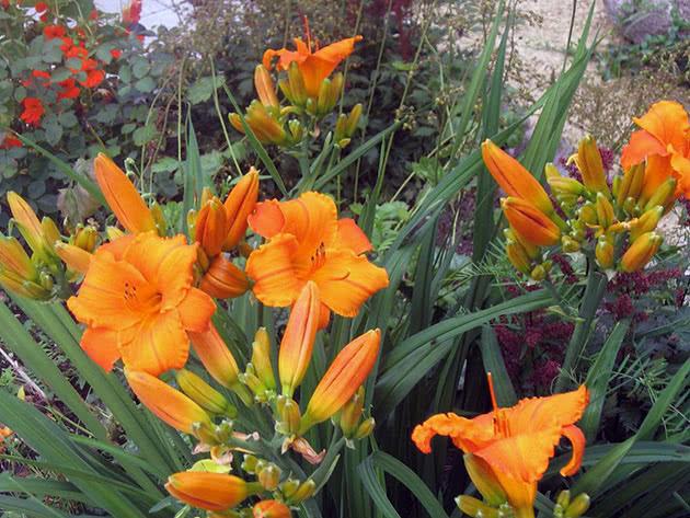 Orange daylilies in the garden
