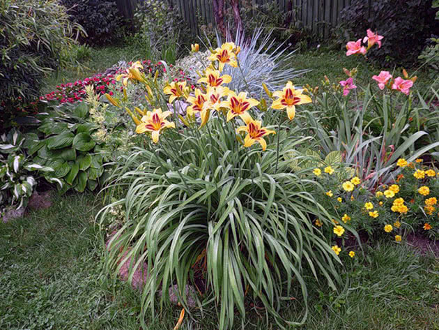 Planting of daylilies