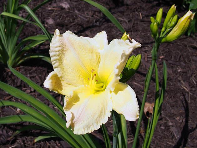 White-yellow daylily