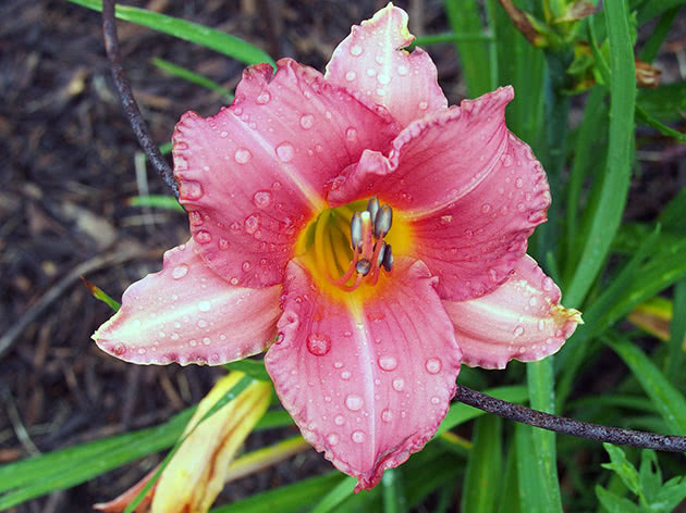 Large flower of the daylily