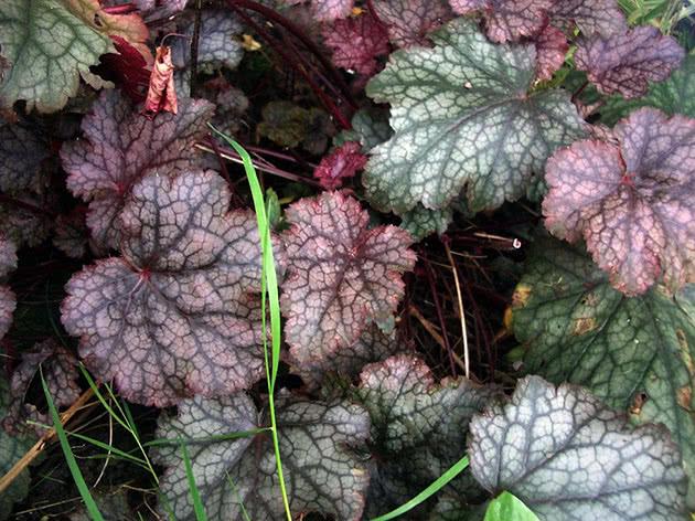 Heuchera leaves