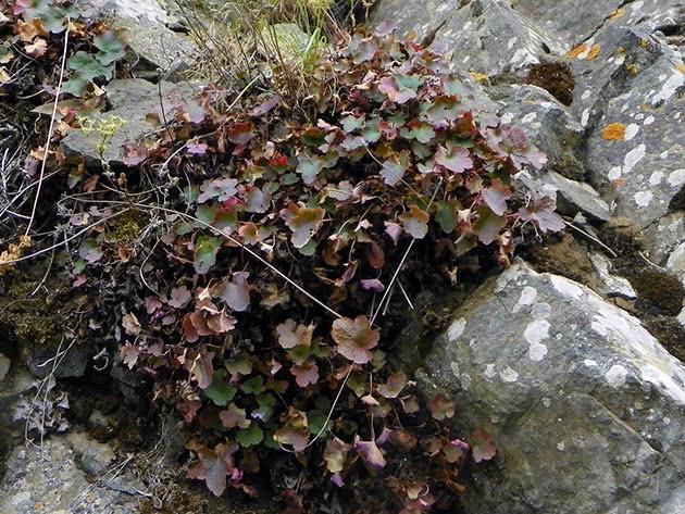 Heuchera grossulariifolia, gooseberry-leaf alumroot