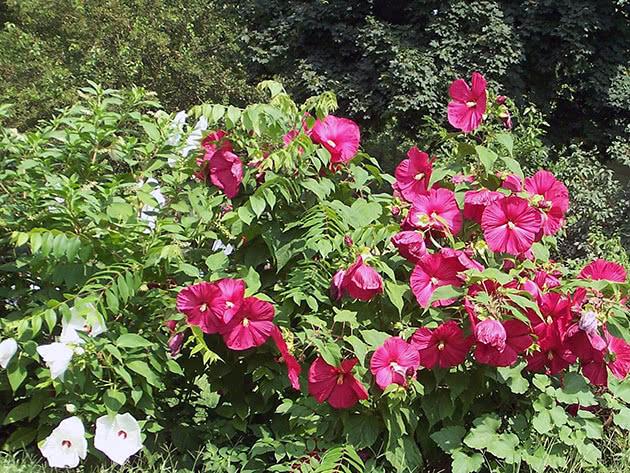 Цветение гибискуса в саду