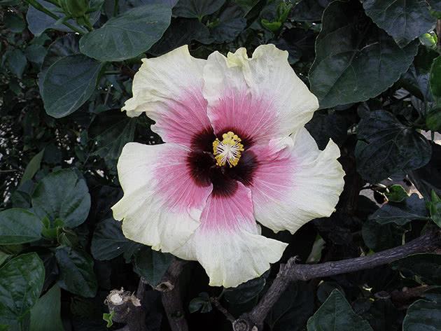 Цветет садовый гибискус