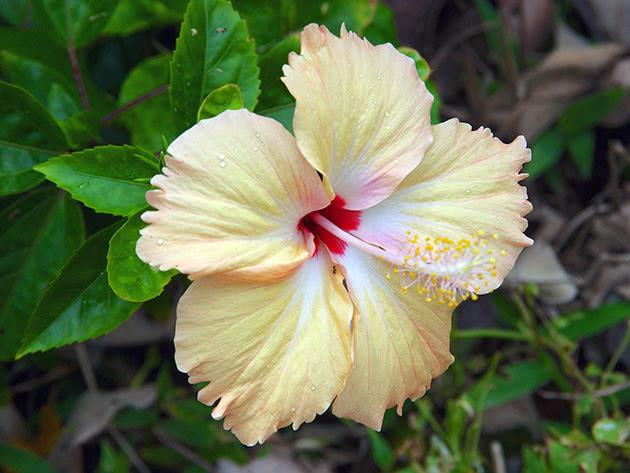 Гибискус гибридный / Hibiscus hybrida