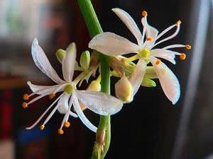 Квітки Хлорофітума хохлатого