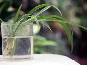 Розмноження Хлорофітума хохлатого