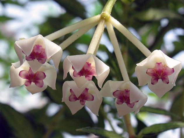Хойя прекрасна / Hoya bella