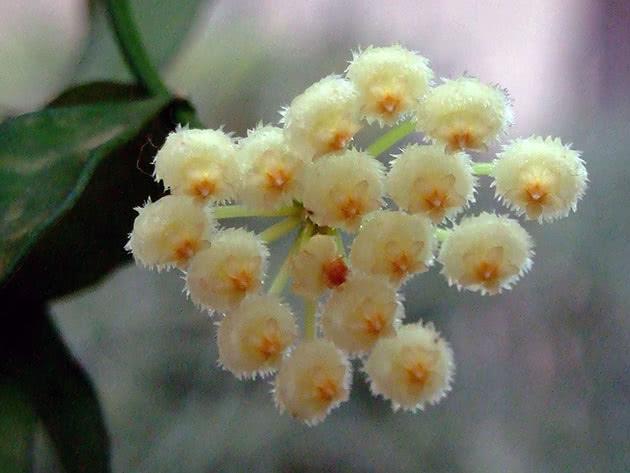 Хойя лакуноза, або увігнута / Hoya lacunosa